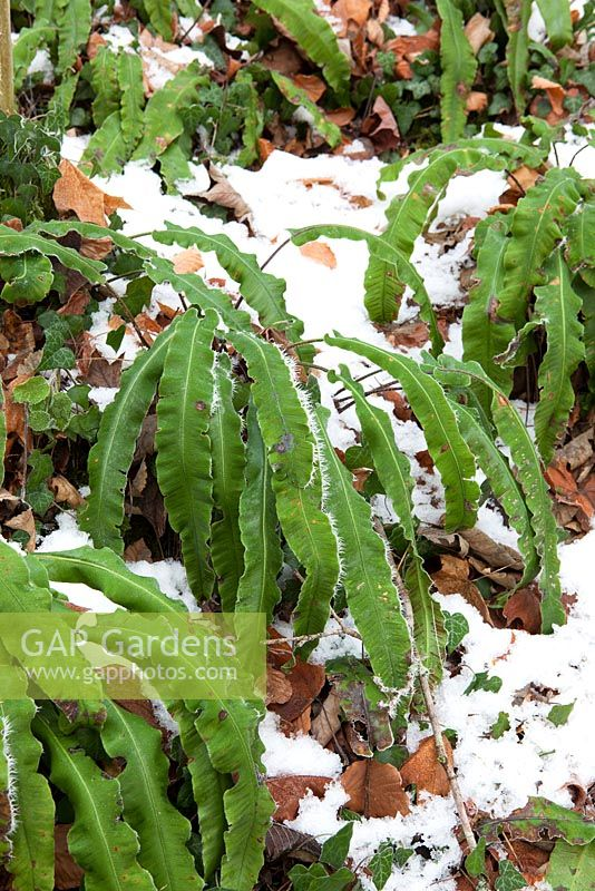 Asplenium scolopendrium - Hart's tongue fern,  in snow