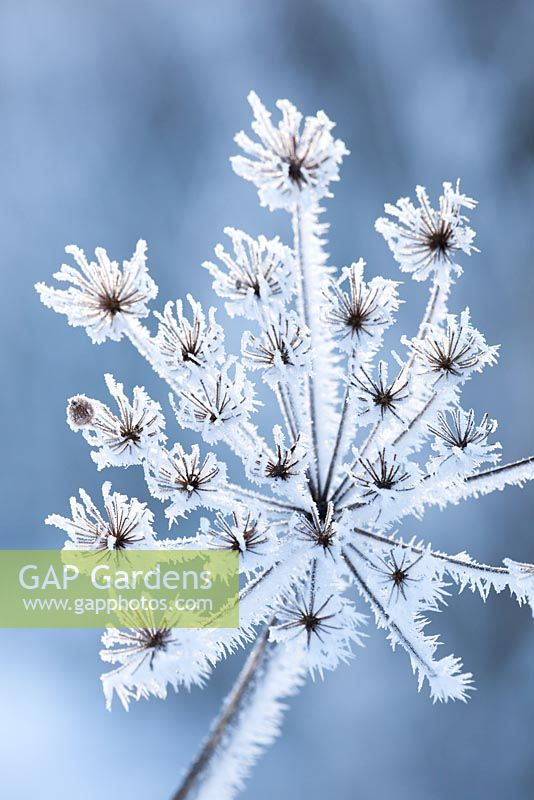 Heracleum sphondylium - Hoar frost on seedheads of Hogweed