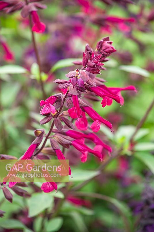 Salvia 'Love and Wishes'. Salvia buchananii hybrid. 3rd place winner Plant of the Year 2015