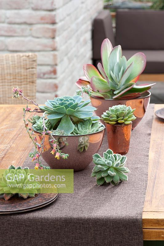 Echeveria and Kalanchoe thyrsiflora in container display
