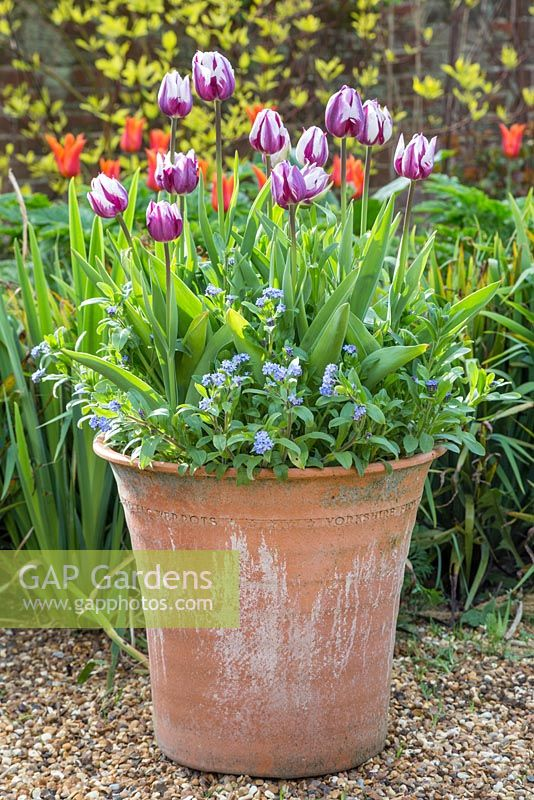 Spring Container with Tulipa 'Rem's Favourite' and Myosotis 'Blue Ball'