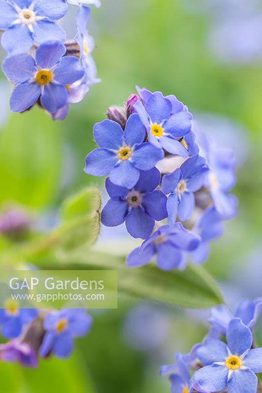 Myosotis 'Blue Ball'