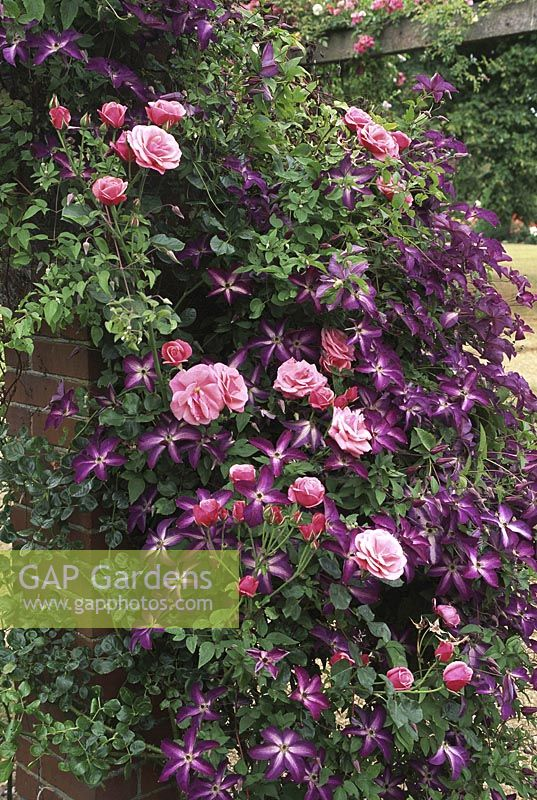 gap gardens clematis 39 venosa violacea 39 and rosa 39 karlsruhe 39 in flower image no 0510401. Black Bedroom Furniture Sets. Home Design Ideas