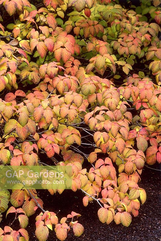 Viburnum wrightii with autumn leaves in November