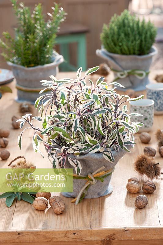 Autumn table decoration with herbs. Salvia Officinalis -  Sage 'Tricolor', Thymus - thyme and Rosmarinus - rosemary in pots with felt lining, walnuts and chestnuts