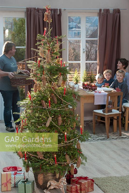 Abies Koreana - Korean fir adorned as a Christmas tree with cones of Picea - spruce and red candles on Clematis branches. Family at the table
