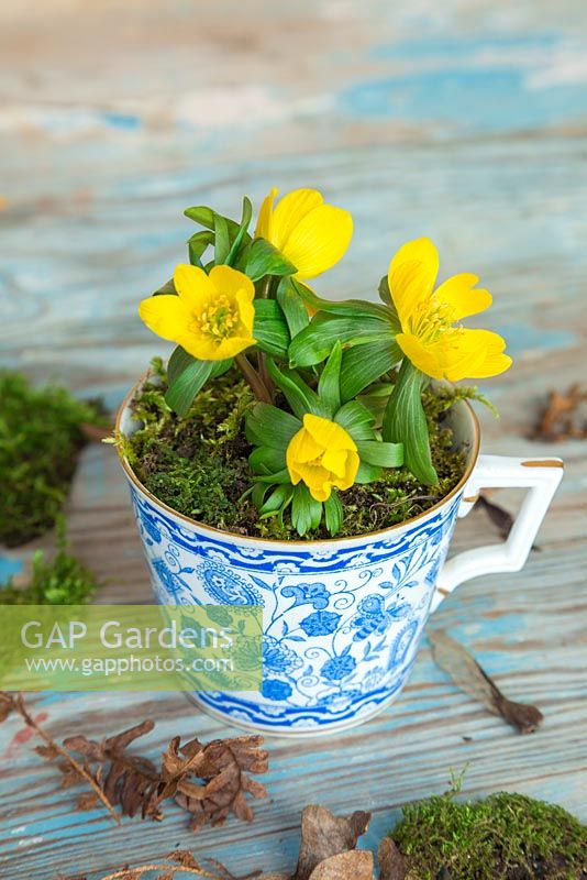 Eranthis underplanted with moss in a blue ceramic cup