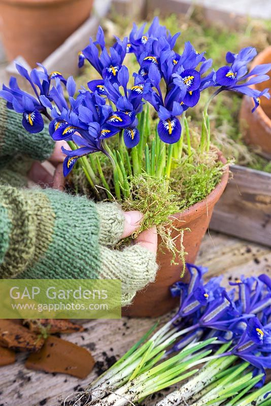 Planting up terracotta pots with Iris reticulata