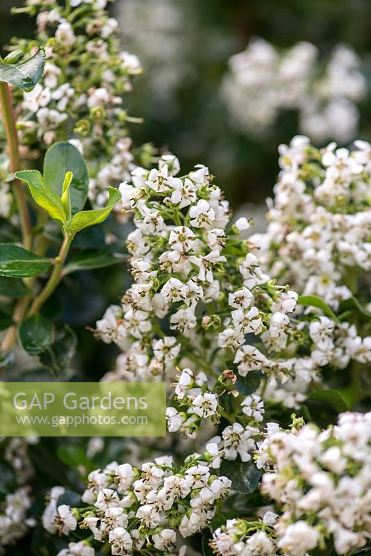 Gap Gardens Escallonia Iveyi A Medium Sized Evergreen Shrub With