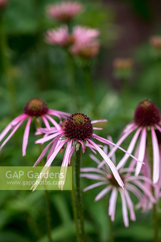 Echinacea pallida, pale pink, daisy-like flowers appear from July to September. The unusual, reflexed petals are much more slender than those of the more common Echinacea purpurea