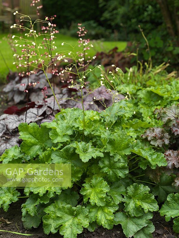 Gap gardens in flower bed clump of heuchera white spires with in flower bed clump of heuchera white spires with shiny mid green crinkled leaves mightylinksfo