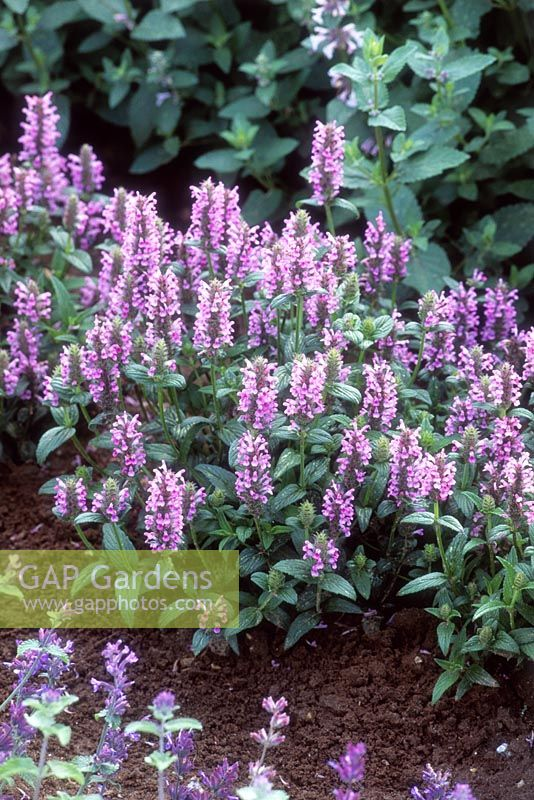 Gap gardens nepeta nervosa pink cat image no 0512855 photo nepeta nervosa pink cat mightylinksfo