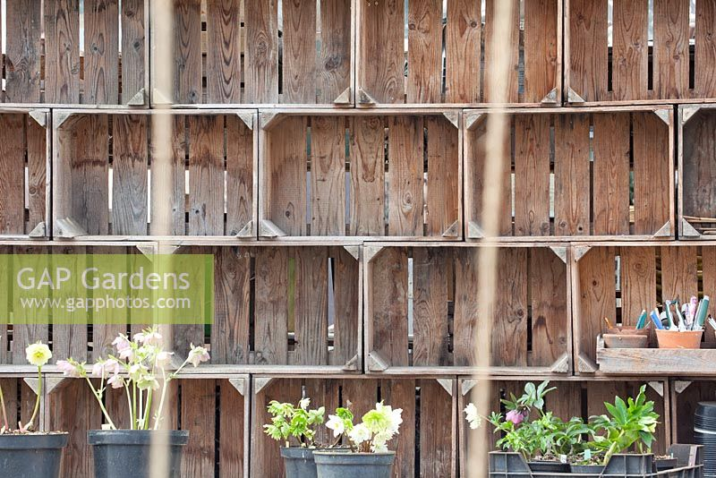 Cupboard of wooden crates and Helleborus.