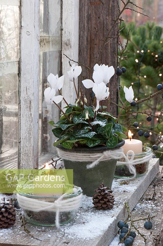 Cyclamen with lanterns, pins, sloes and snow outside the window