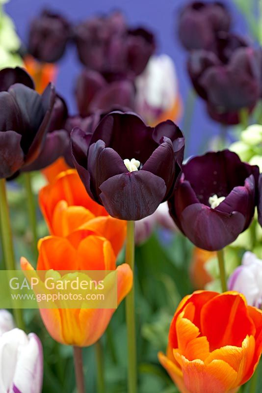 Gap gardens tulipa paul scherer agm black tulipa annie tulipa paul scherer agm black tulipa annie schilder orange mightylinksfo