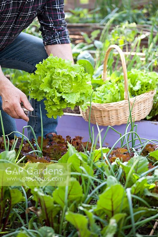 Man harvesting green lettuce Lactuca 'Laibach ice salad'. Raised bed with onions, beetroots