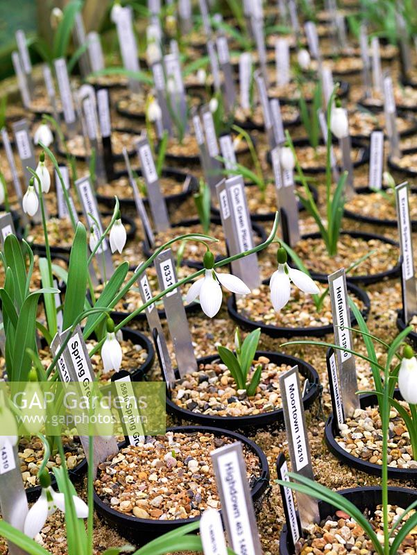 second year, twin-scaled snowdrop bulbs. A National Collection of over 600 different snowdrops is kept in dedicated raised beds and greenhouses