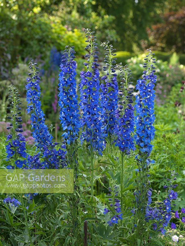 Gap gardens delphinium blue nile a stately perennial bearing delphinium blue nile a stately perennial bearing spikes of blue flowers with white mightylinksfo