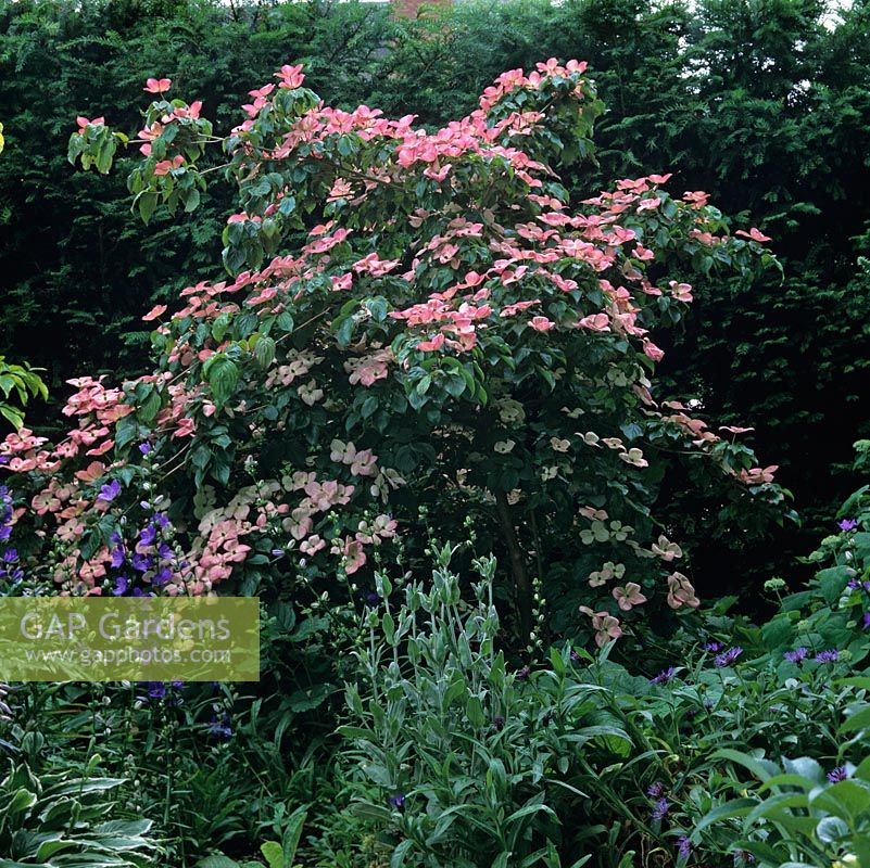Gap gardens cornus florida rainbow a lovely small tree - Cornus florida rainbow ...