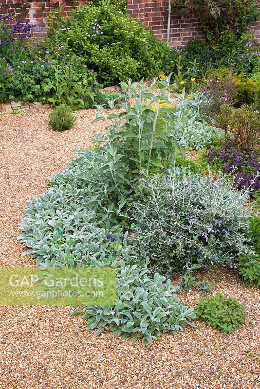 Teucrium fruticans and Buddleja 'Lochinch', underplanted with Stachys byzantina 'Silver Carpet' in a gravel garden border