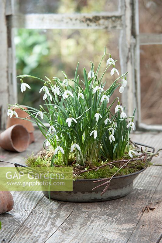 Galanthus nivalis in old tin bowl with moss and birch branch