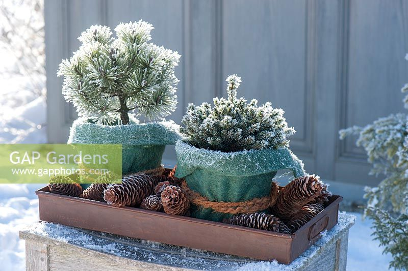 Winter display with pots planted with Pinus mugo 'Mops' and Picea glauca 'Echiniformis'