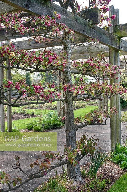 Gap Gardens Malus Royal Ruby Espalier Crabapple Image No