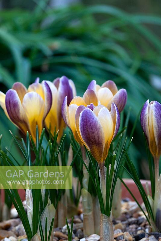 ba7f5f995a7224 GAP Gardens - Crocus chrysanthus  Advance  - Image No  0518434 ...