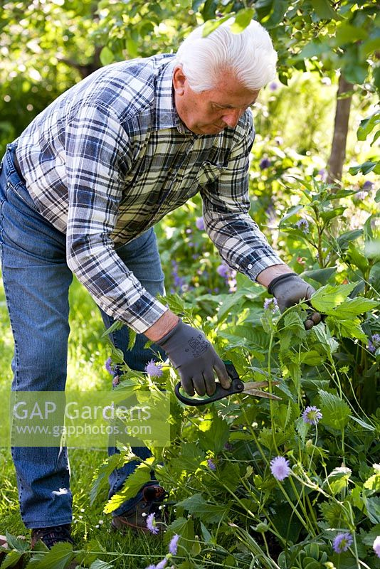 Man harvesting nettles - Urtica dioica - to make insecticide and fertilizer