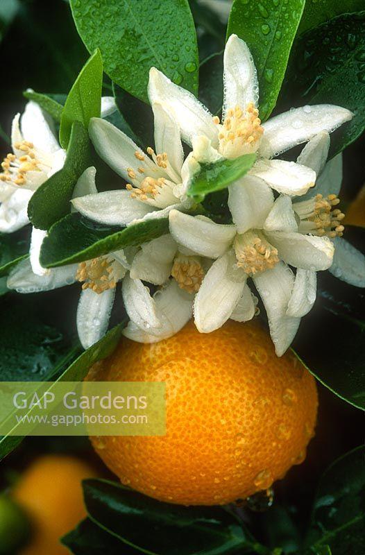 gap gardens citrus mitis calamondin orange x citrofortunella microcarpa close up of fruit. Black Bedroom Furniture Sets. Home Design Ideas
