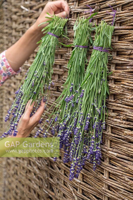 Hanging out Lavandula angustifolia 'Hidcote' to dry