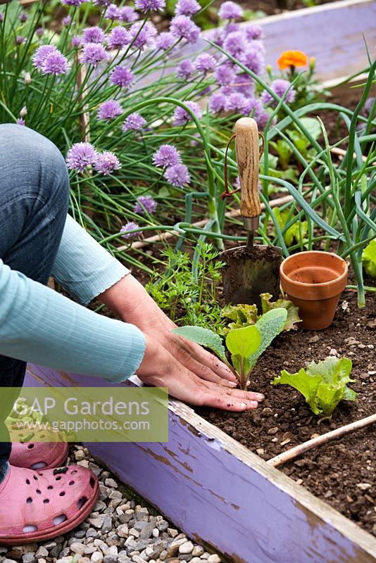 Woman planting out borago officinalis seedling in raised vegetable bed.