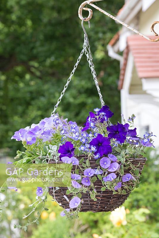 Hanging basket with different shades of blue. Featuring Convolvulus sabatius, Dichondra 'Silver Falls', Petunia 'Sky Blue' Fanfare series, Petunia 'Deep Blue' Fanfare series and Lobelia 'Hot Tiger'