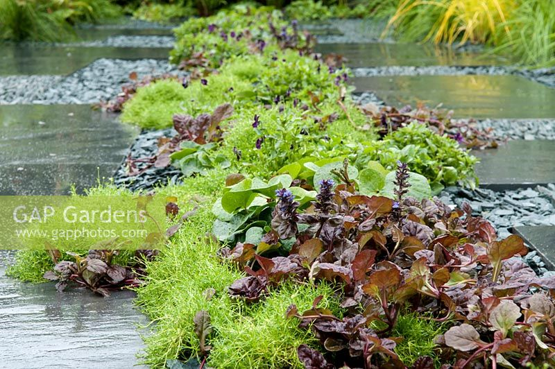 how to grow irish moss