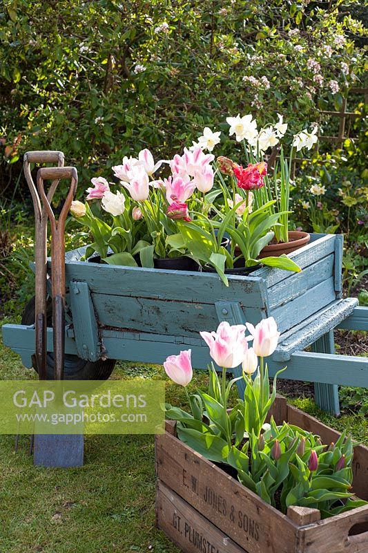 Old Wheelbarrow and wooden box with tulips and garden utensils
