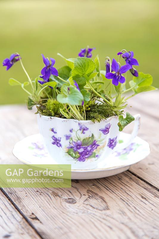 Viola odorata and moss planted in a vintage tea cup