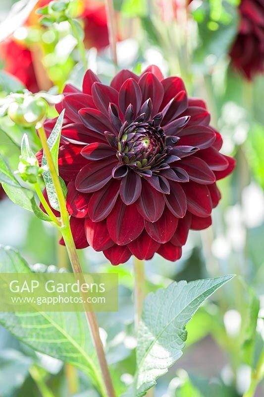 gap gardens dahlia 39 arabian night 39 image no 0525773. Black Bedroom Furniture Sets. Home Design Ideas