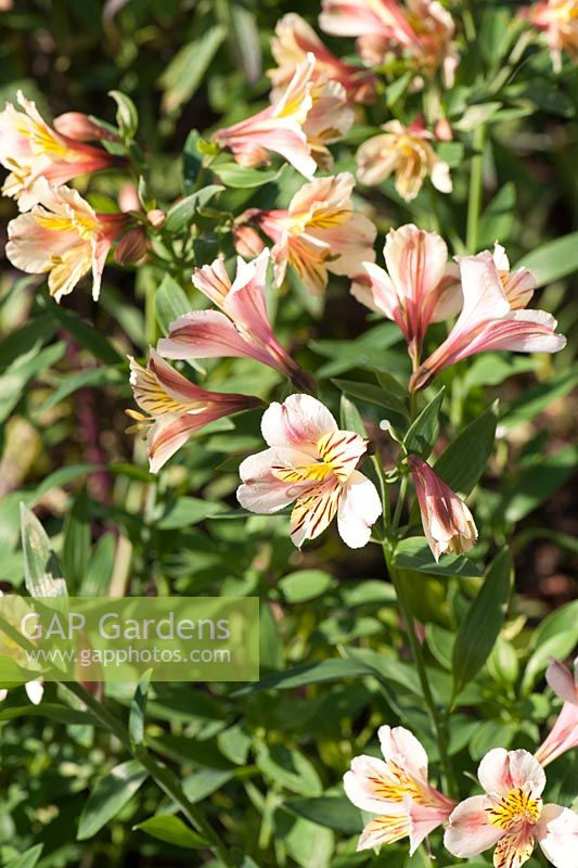 Alstroemeria Selina Norwell Nurseries Notts Uk