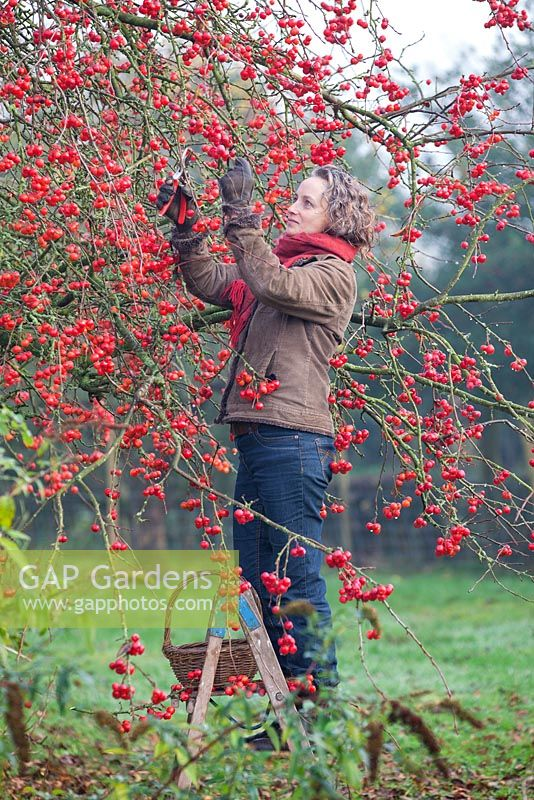 Gabbi Reid cutting Malus, Crab Apple for making christmas wreaths. December.