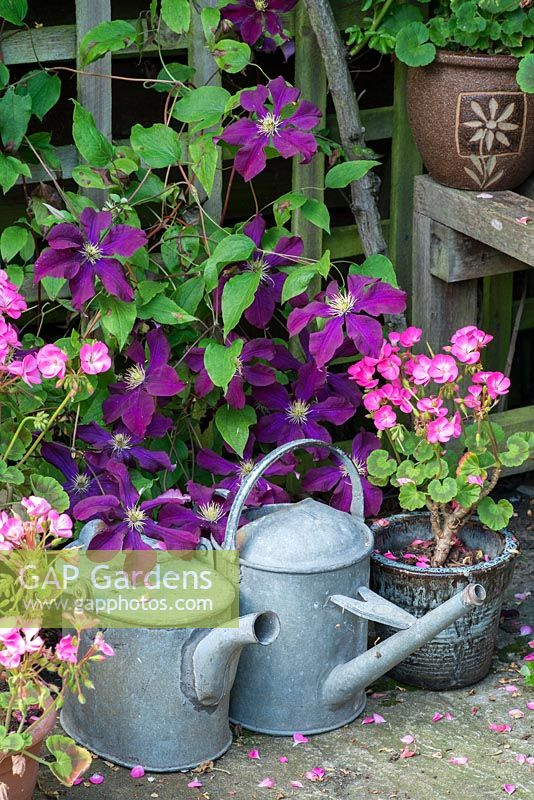 Clematis 'Warsaw Nike'. Garden corner with vintage galavanised watering cans, potted hybrid pelargoniums.