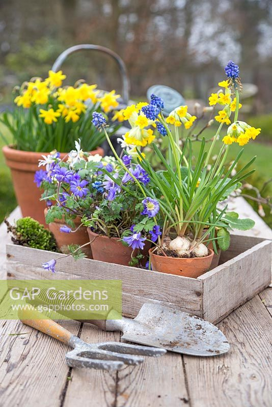 Spring display of Anemones, Tete-a-tete, Primula veris and Muscari in a vintage trug