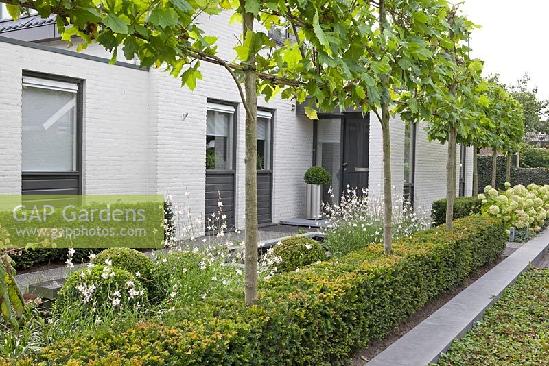 Gap Gardens Contemporary Front Garden With Yew Hedge And
