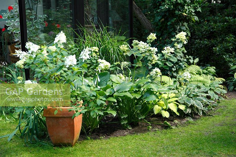 gap gardens border with hydrangea paniculata 39 limelight. Black Bedroom Furniture Sets. Home Design Ideas