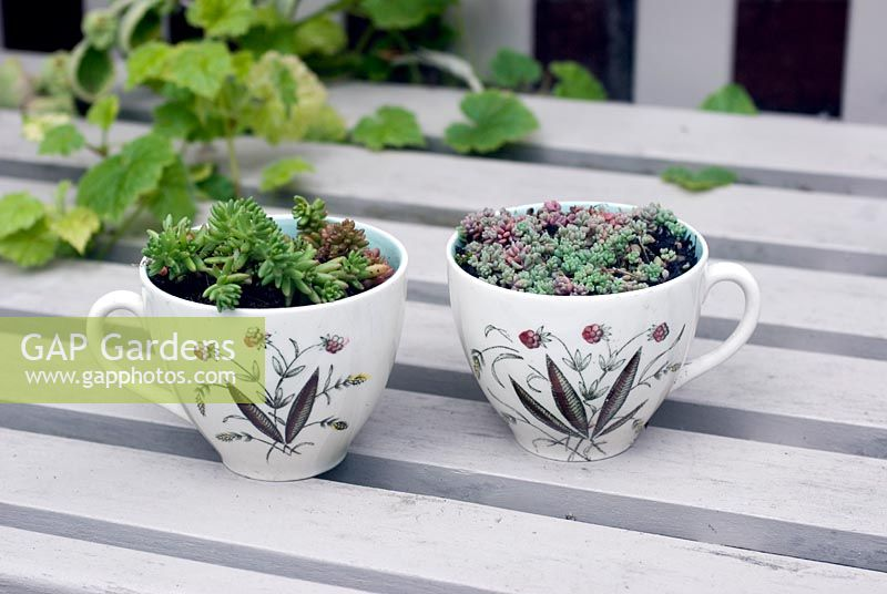 Vintage cups planted with with alpines on painted wooden seat