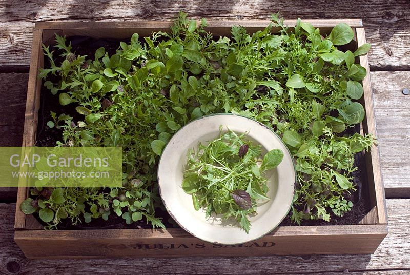 Freshly picked salad leaves grown in a wooden crate, in vintage enamel bowl