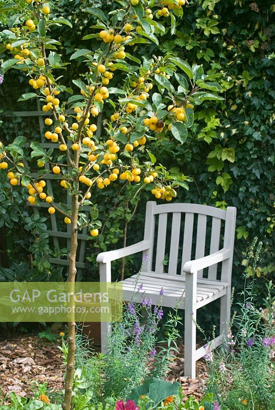 Malus 'Golden Hornet' - Crab apple tree with painted wooden seat