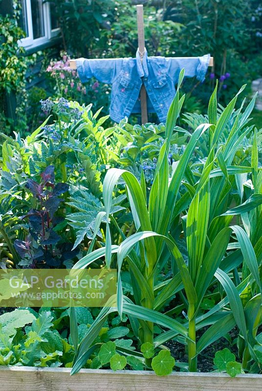 Scarecrow in vegetable bed in spring planted with globe artichokes and elephant garlic