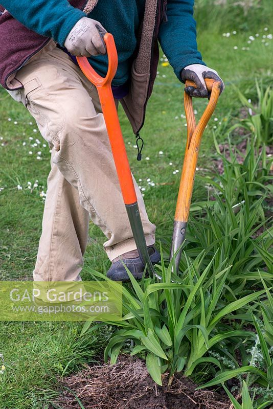 In Spring, Mark Zenick, daylily specialist, propagates daylilies by division. Step 2: using two forks, prise sections away, ensuring there is always foliage attached to rhizome root.