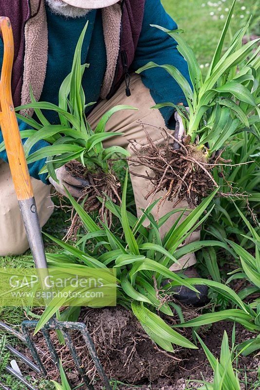 In Spring, Mark Zenick, daylily specialist, propagates daylilies by division. Step 3: two sections of the original clump, each with foliage attached to rhizome root, are ready to replant.