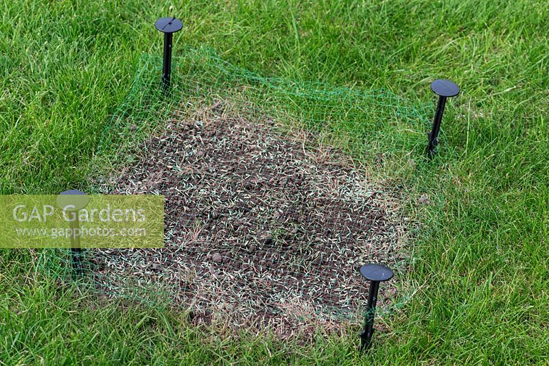 Restoring a damaged lawn step by step - Stake netting over the newly seeded area to project.